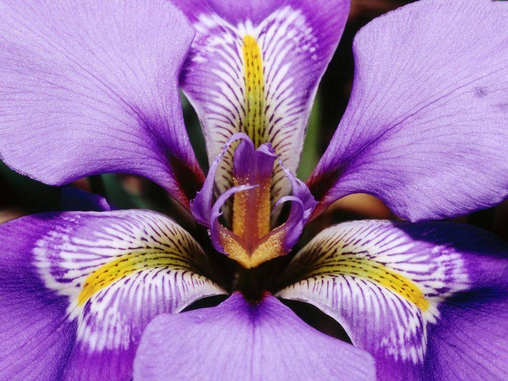 Iris.1