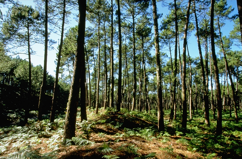 Pycnogenol_trees_H02
