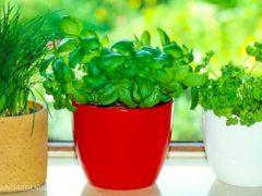 8 condimente pe care le poți cultiva în casă